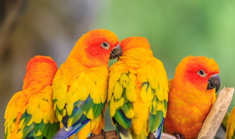 Lovebird Kuning Biru Hijau
