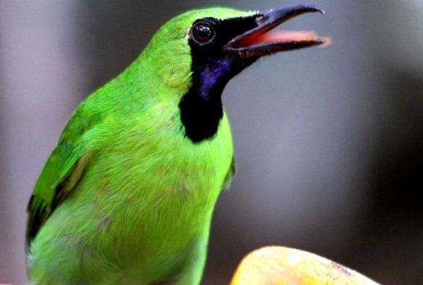 burung untuk peliharaan cucak hijau
