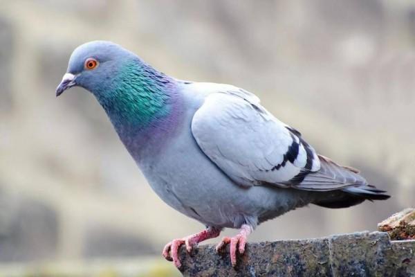 burung untuk peliharaan merpati