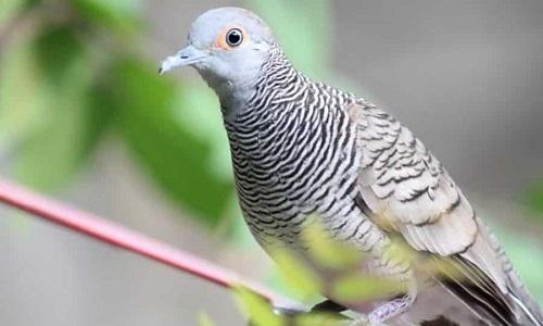 burung untuk peliharaan perkutut