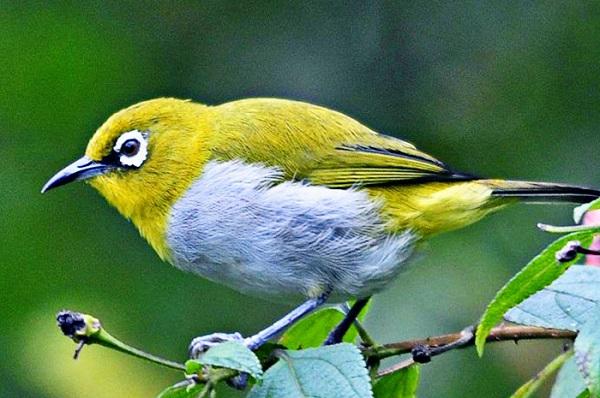 burung untuk peliharaan pleci