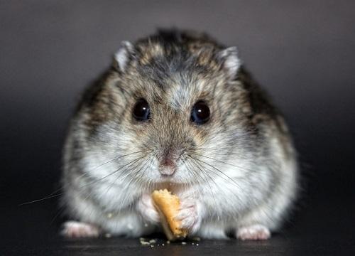 hewan peliharaan hamster