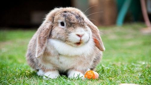hewan peliharaan kelinci