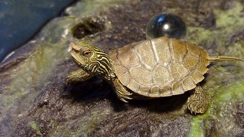 hewan peliharaan kura-kura